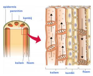 Zanimivosti-Skrivnost-velekih-dreves-kapilarnost