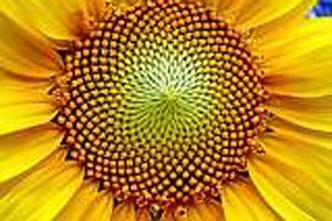 Zanimivosti-fibonaccijevo-zaporedje