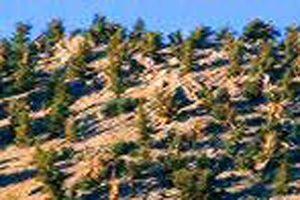large-Bristlecone-pine-12