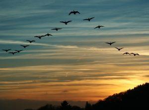 Zanimivosti-Dominacija-ali-vodstvo-ptice-v-letu