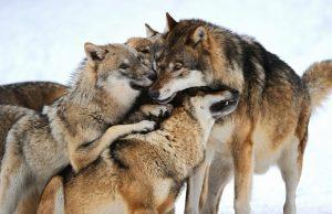 Zanimivosti-Dominacija-ali-vodstvo-volkovi