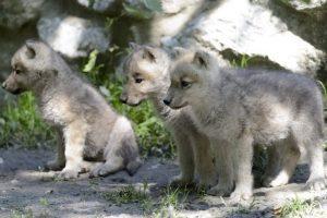 Zanimivosti-Dominacija-ali-vodstvo-volkovi-mladici