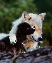 volkovi1